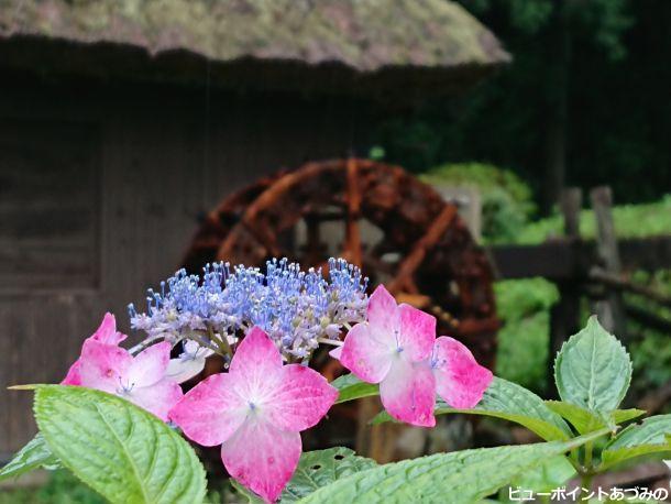茅葺水車と紫陽花