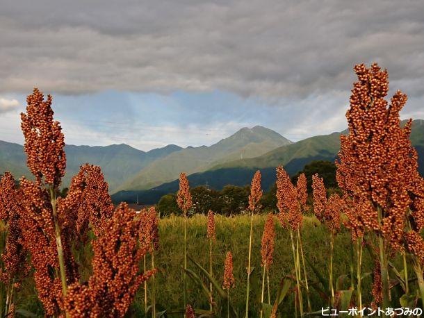 稗の穂と常念岳