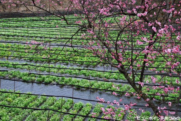 わさび田の春