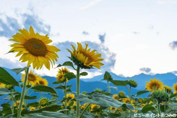 堂々と咲き誇る向日葵