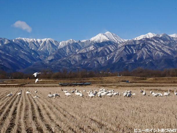田んぼの白鳥と常念岳