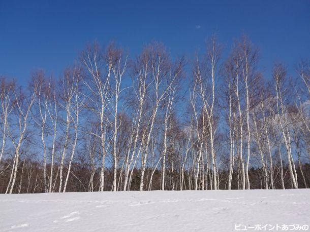 青空と白樺林