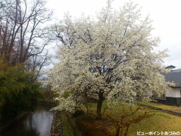 中曽根河畔のコブシ