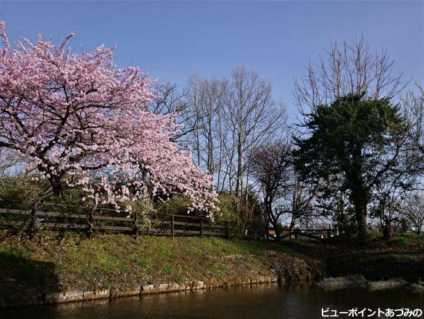 田淵行男記念館の桜