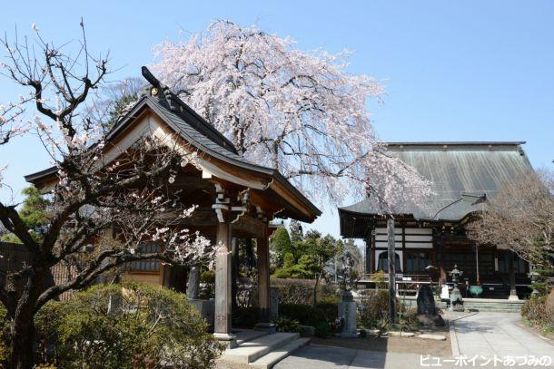 東光寺のしだれ桜