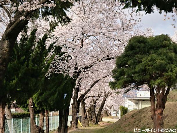 旧穂高小学校の桜