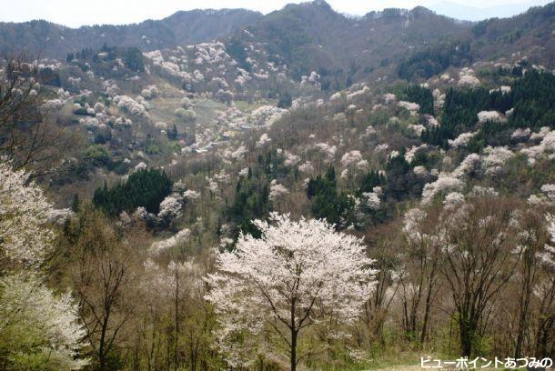 桜仙峡の山桜