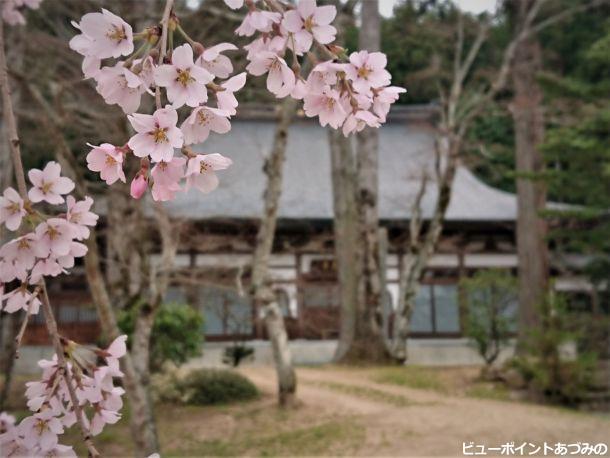 青原寺の桜