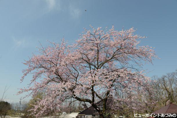 満開の百楽桜