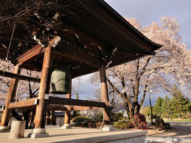 鐘楼と枝垂桜