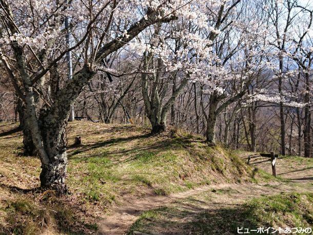 光城址の桜