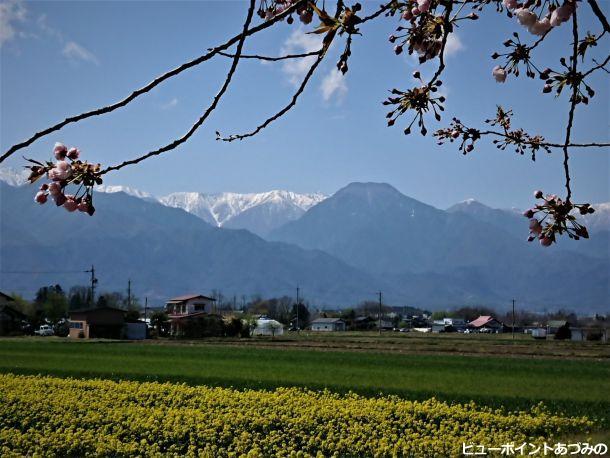 桜と菜の花と信濃富士