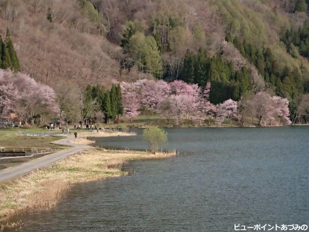 大山桜と中綱湖