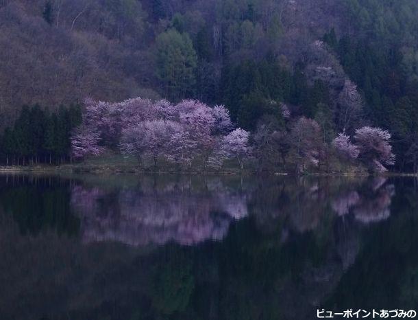 早朝の中綱湖と大山桜
