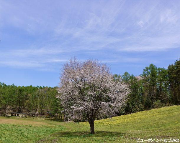 中山高原の一本桜