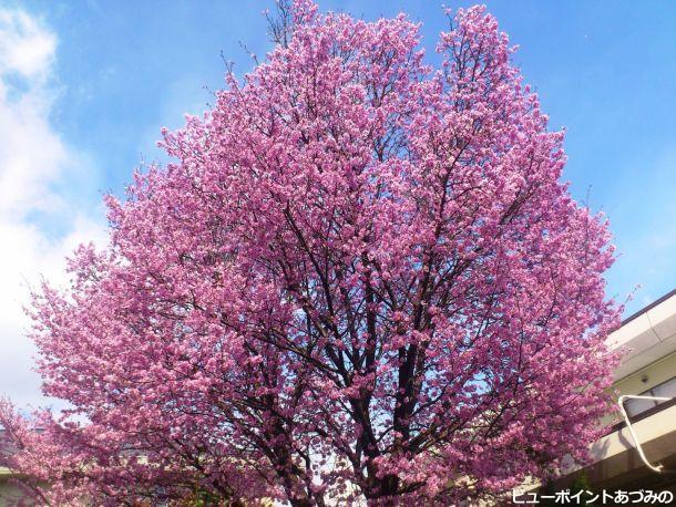 堀金の御殿桜