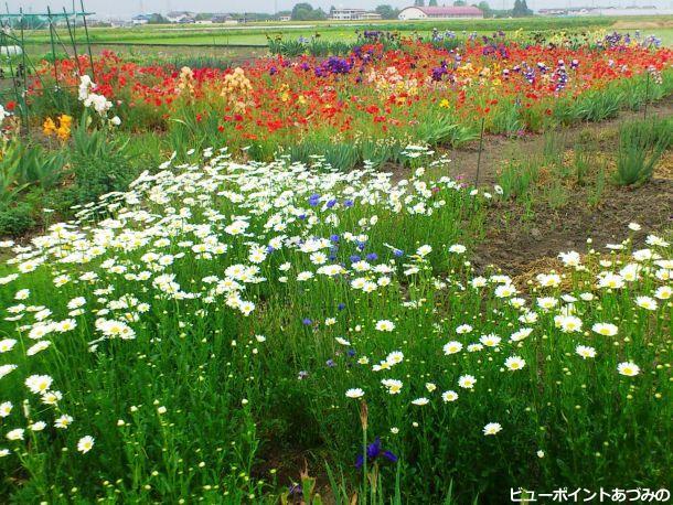 拾ヶ堰沿いのお花畑