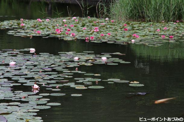 室山池の睡蓮