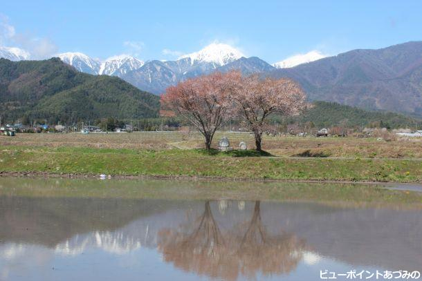 常念道祖神と桜