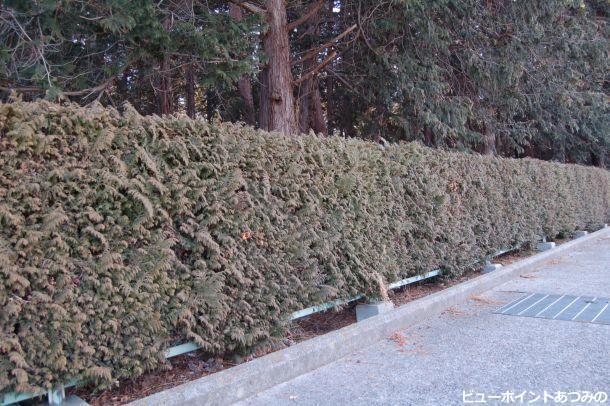 吉野神社の生け垣