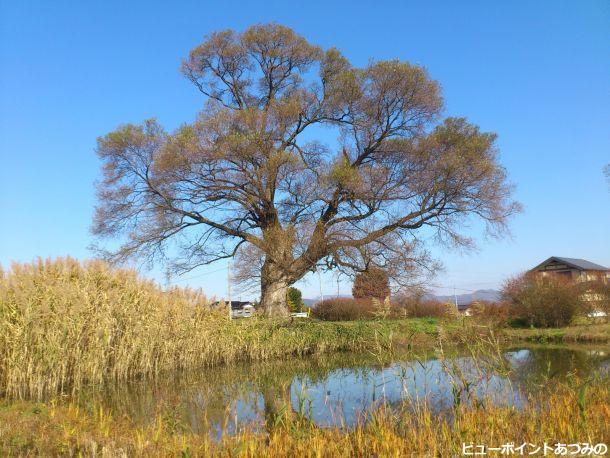 久保田公園の柳