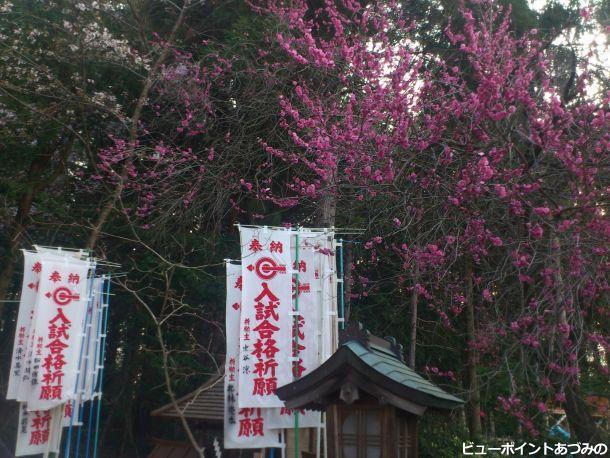 穂高神社の紅梅