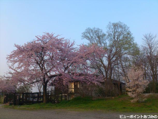 安曇野百楽桜