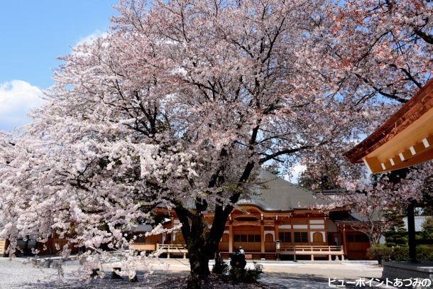 宗徳寺の桜