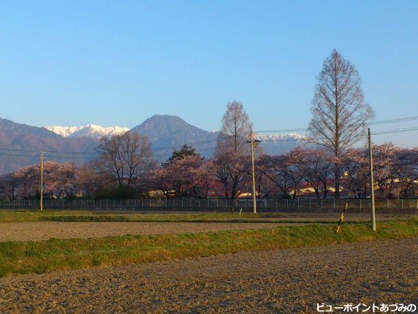 桜並木と信濃富士