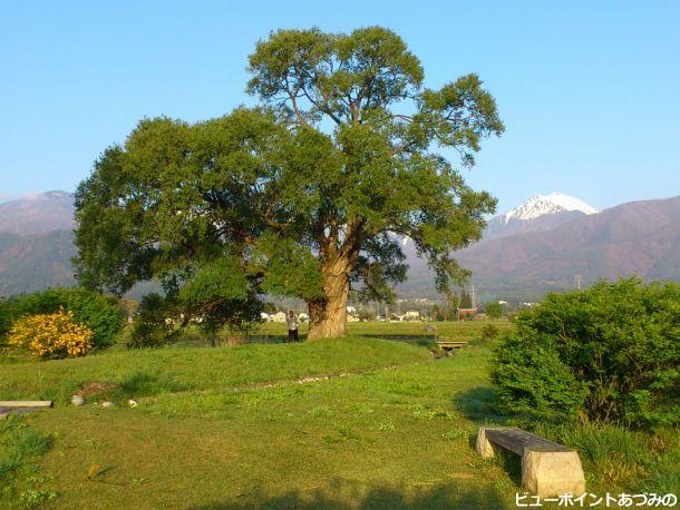 柳の大木と常念岳