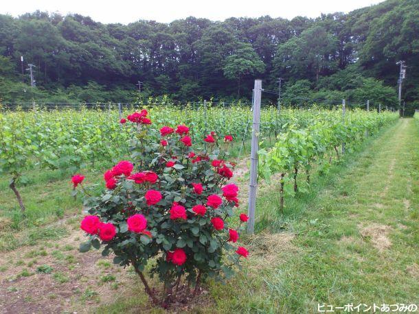 葡萄畑に咲く薔薇